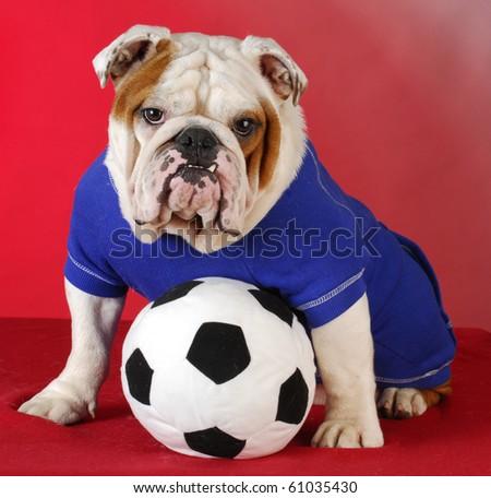english bulldog wearing blue shirt with stuffed soccer ball sitting on red background