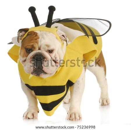 english bulldog wearing bumble bee costume on white background