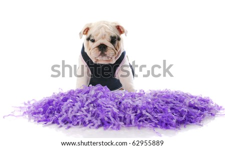 english bulldog wearing cheerleader costume with purple pompoms with reflection on white background