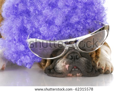 english bulldog wearing clown glasses and purple wig with reflection on white background
