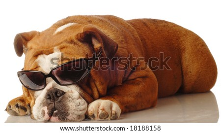 english bulldog wearing dark sunglasses - isolated on white