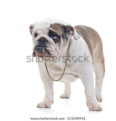 English Bulldog wearing necklace standing over white background, looking off camera