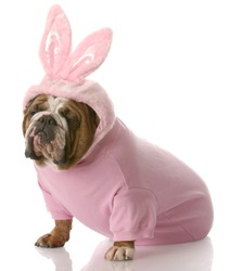 english bulldog wearing pink easter bunny costume with reflection on white background