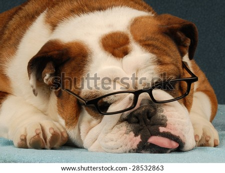 english bulldog wearing reading glasses with tongue sticking out