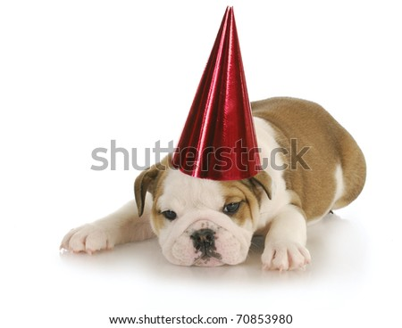 english bulldog wearing red party hat with reflection on white background