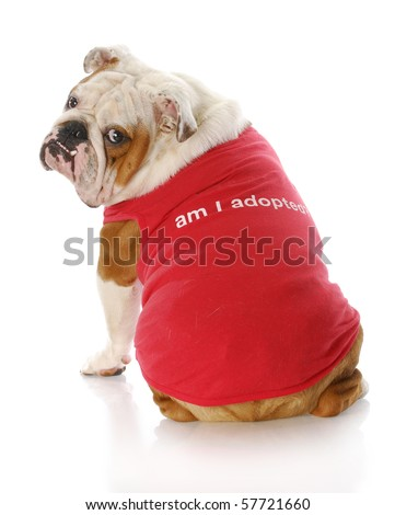 "english bulldog wearing red shirt that says ""Am I Adopted?"" with reflection on white background"