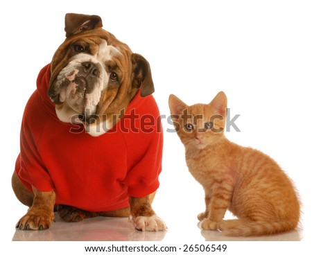 english bulldog wearing red sweater and orange tabby kitten both looking at the viewer