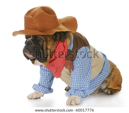 english bulldog wearing western hat and cowboy shirt with reflection on white background