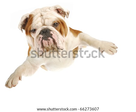 english bulldog with arms out flying on white background