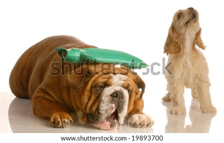english bulldog with hot water bottle on head with cocker spaniel standing beside her howling - concept of argument or headache