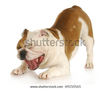 english bulldog with mouth open making funny face with reflection on white background