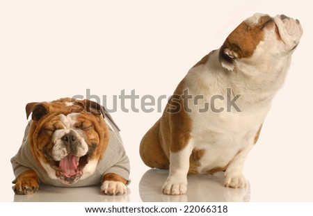 english bulldog with nose up in the air while another dog laughs hysterically at it - dog fight