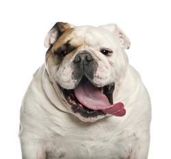 English Bulldog, 6 years old, against white background
