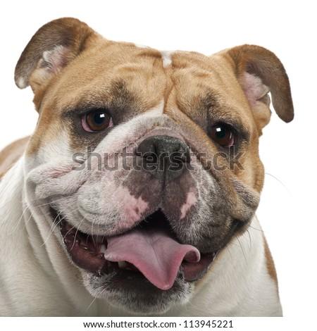 English Bulldog, 2 years old, against white background