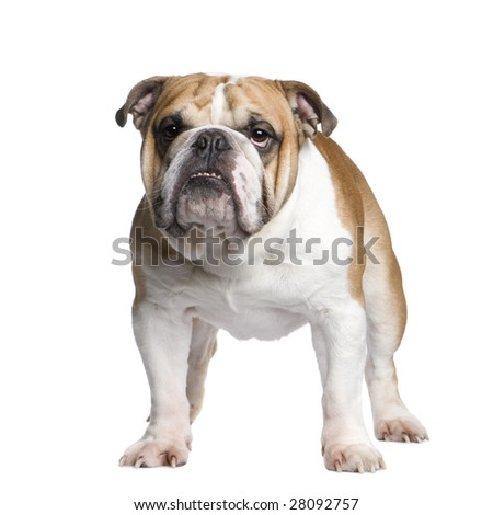 english Bulldog (3 years old) in front of a white background