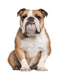 English Bulldog, 5 years old, sitting against white background