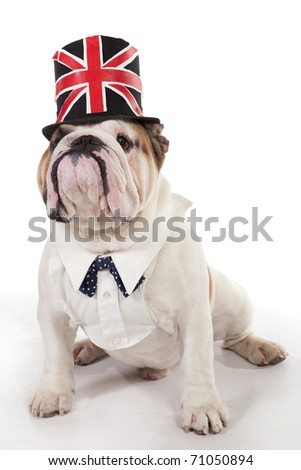 English Bulldog, 2 years old, sitting of white background in a hat.