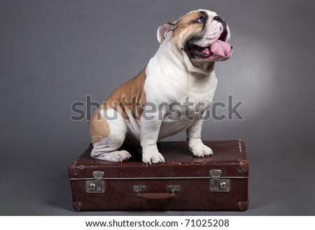 Gray English Bulldog English bulldog, 2 years old,