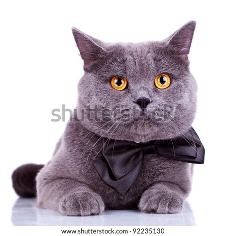 english cat with big orange eyes, wearing a bow tie on white background
