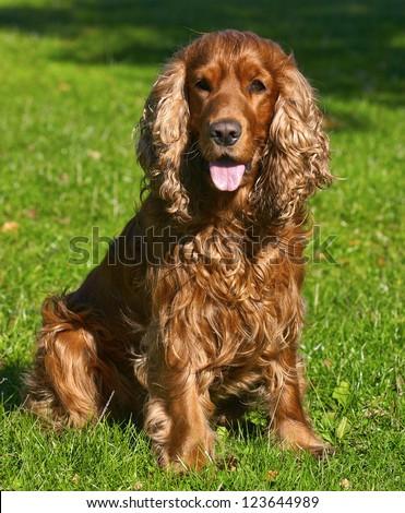 English Cocker Spaniel - stock photo