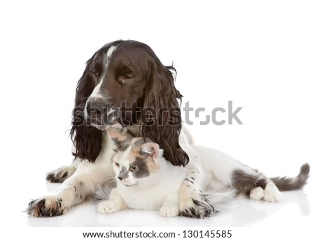 English Cocker Spaniel dog and cat lie together. looking away. isolated on white background