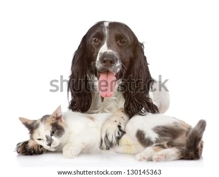English Cocker Spaniel dog and kitten together. isolated on white background