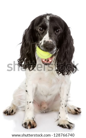 English Cocker Spaniel dog holding tennis ball. looking at camera. isolated on white background