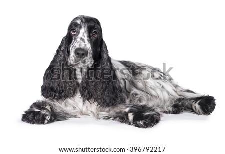 English cocker spaniel dog lying isolated on white #396792217