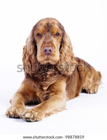 English Cocker Spaniel dog on white - stock photo