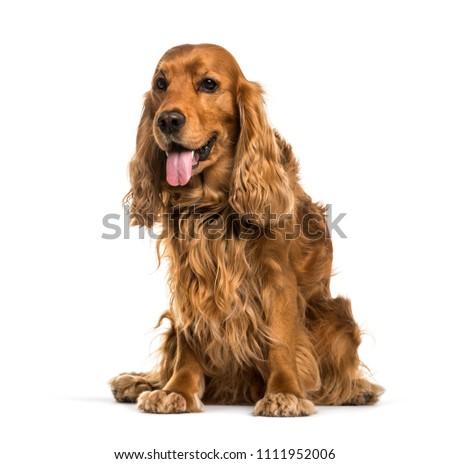 English Cocker Spaniel dog sitting and panting, isolated #1111952006