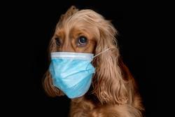 English Cocker Spaniel dog with medical face mask isolated on black background