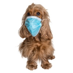 English Cocker Spaniel dog with medical face mask isolated on white background
