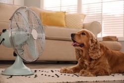 English Cocker Spaniel enjoying air flow from fan on floor indoors. Summer heat