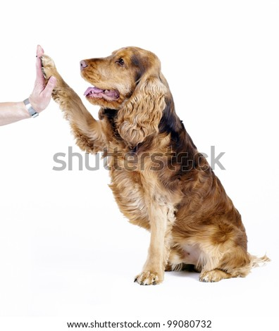 English Cocker Spaniel give five to human hand, 1 year old male - stock photo
