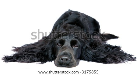 English Cocker Spaniel, in one of her standard poses. - stock photo