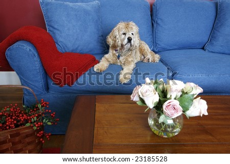 english cocker spaniel on blue jean couch with decor