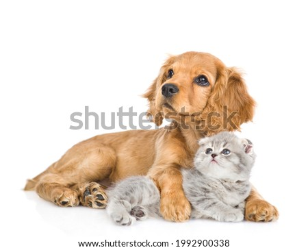 English cocker spaniel puppy dog hugs kitten. Pets look up together. isolated on white background.