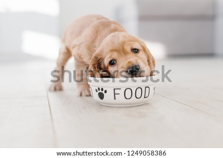 English cocker spaniel puppy eating dog food from ceramic bowl