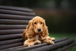 english cocker spaniel puppy lying down on a bench
