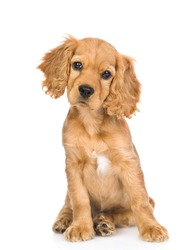 English cocker spaniel puppy sitting in front view and tilting head. isolated on white background