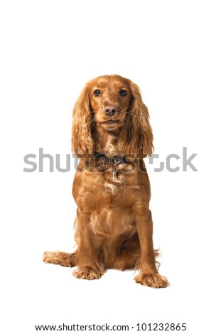 English cocker spaniel sitting on white background