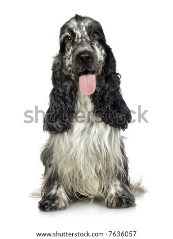 English Cocker Spaniel (3 years) in front of a white background
