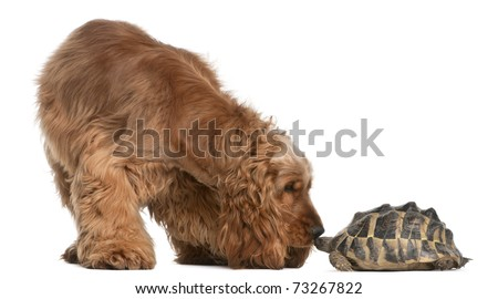English Cocker Spaniel, 2 years old, and a Hermann's tortoise, Testudo hermanni, in front of white background