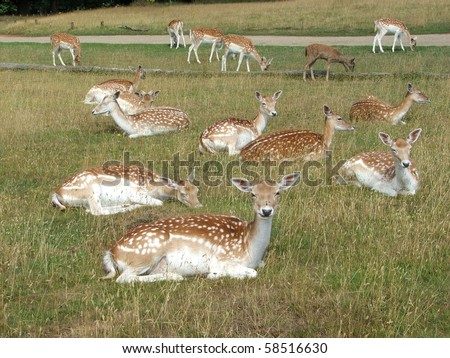English deer in countryside