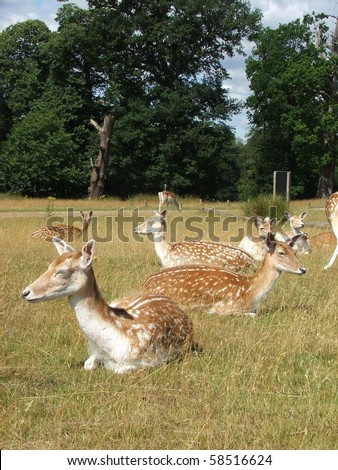 English deers in countryside