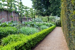 English garden with white allium flowers in bloom, enclosed by brick wall with fruit trees and trimmed yew hedge .