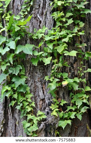 English Ivy Creeping over an old bark tree.