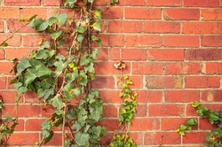 English ivy on red brick wall