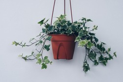 English ivy plant in pot