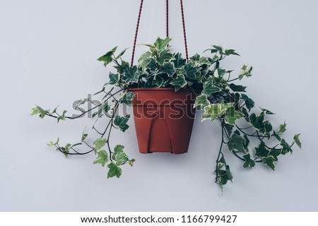 English ivy plant in pot #1166799427